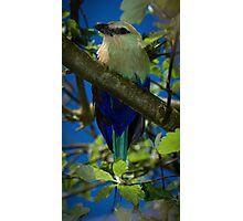 Blue Bellied Roller Photographic Print