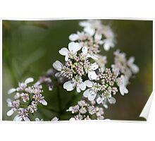 Macro photo of Coriander flowers (Coriandrum sativum). Poster