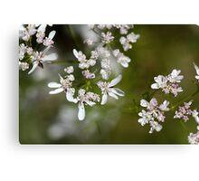 Macro photo of Coriander flowers (Coriandrum sativum). Canvas Print