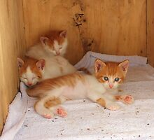 Kittens by Vicki Spindler (VHS Photography)