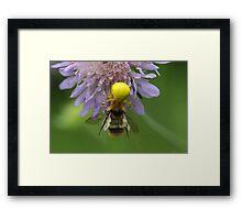 Crab spider (Misumena vatia) with a bumblebee Framed Print