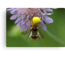 Crab spider (Misumena vatia) with a bumblebee Canvas Print
