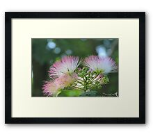 Mimosa Blossoms Framed Print