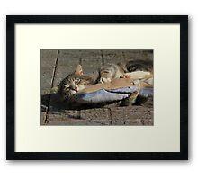 Grey cat playing with toy fish Framed Print