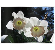 White Daffodil Pair Poster