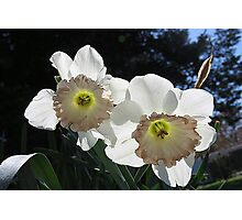 White Daffodil Pair Photographic Print