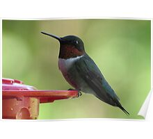 Ruby Red Throated Hummingbird - Close-up Poster