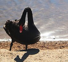 Swan on Swan by myraj