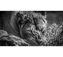 Woburn Safari Park - Lion Photographic Print