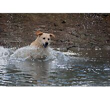 Bouncer-The Labrador Leap of faith Photographic Print