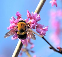 Eastern Redbud And The Bee by ©Dawne M. Dunton
