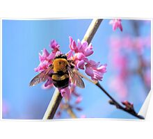 Eastern Redbud And The Bee Poster