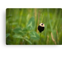 American Carrion Beetle Canvas Print