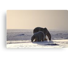 Golden Glow. Polar Bears at Sundown, Churchill, Canada (Please read description) Canvas Print
