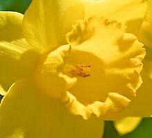 Daffodil by ©Dawne M. Dunton