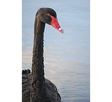 Black Swan 3 Photographic Print