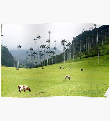 Cows grazing in the green meadows at the Cocora valley Poster