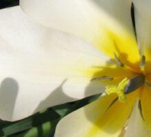 Sunlit Tulips Sticker