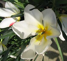 Sunlit Tulips by kathrynsgallery