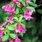 Vibrant Pink Weigela Flowers by Elizabeth Thomas