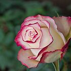Ecuador. Rose from the Rose Plantation. by vadim19