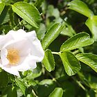 White Rosa Rugosa by Linda  Makiej
