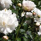 White Peonies by Linda  Makiej