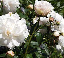 White Peonies by Linda  Makiej