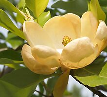 Creamy Magnolia by Linda  Makiej Photography