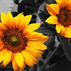 Sunflower by Sepp16