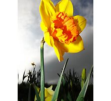 Dramatic Summer Flower Daffodil Photography Photographic Print