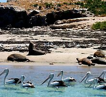 Pelicans, Seagulls and Sea Lions!  by Margaret Stanton