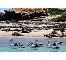 Pelicans, Seagulls and Sea Lions!  Photographic Print