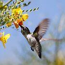 Costas Hummingbird  by Dennis Cheeseman