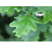 Oak Leaves and White Leaf Photographic Print