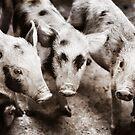 Piglets, Vietnam by Ramona Farrelly