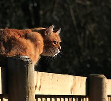 Ginger cat sat on garden fence by turniptowers