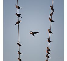 Cormorants at Twilight Photographic Print
