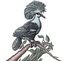 Fancy Bird (Western Crowned  Pigeon) Photographic Print