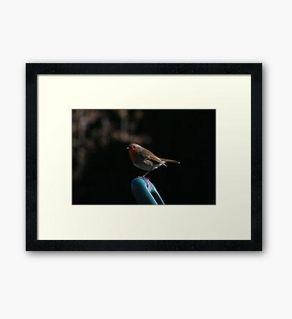 Robin on spade handle Framed Print