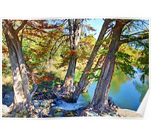 Guadalupe Cypress Poster