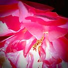 Pink Rose by Shulie1