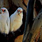 A pair of white Corellas singing out a tune. by myraj