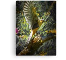 Aplomado Falcon Canvas Print