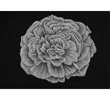 White Carnation Photographic Print
