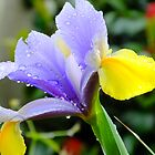 Iris by Johindes