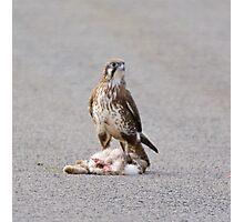 RAPTOR ~ Brown Falcon by David Irwin Photographic Print