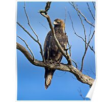 RAPTOR ~ Wedge-tailed Eagle by David Irwin Poster