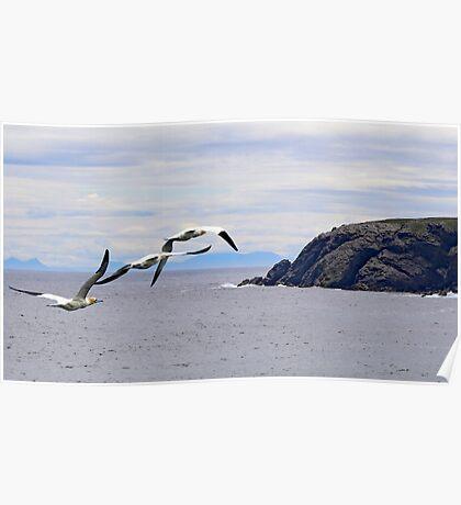 Flight of Gannets Poster