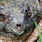 Common Snapping Turtle Close Up by Linda Gleisser